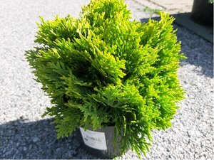 "Thuja occidentalis ""Mirjam©"""