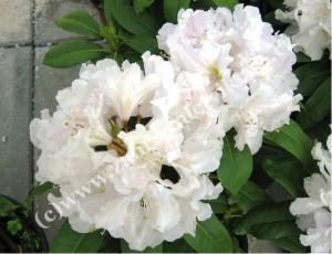 "Rhododendron ""Cunningham´s White"" bílý"