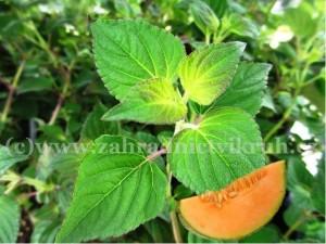 "Šalvěj melounová - Salvia elegans ""Mello"""