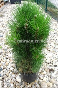 """Borovice černá - Pinus nigra """"Green Tower"""""""