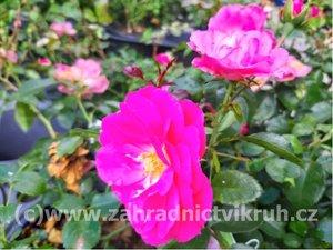 """Růže půdopokryvná """"Bonica"""" - růžová"""
