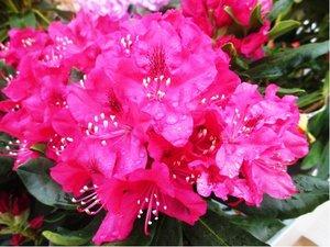 Rhododendron Nova Zembla - sytě růžový, C 2 l