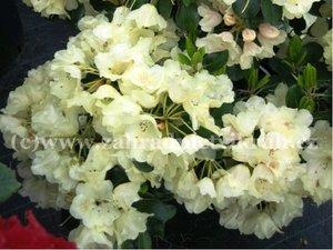 Rhododendron Goldfort - žlutý, extra 2L