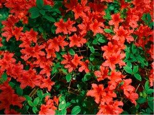 Azalka japonská RADJA - oranžovočervená, C 2 l