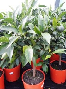 Mandarinka -  C.Reticulata - květináč P20
