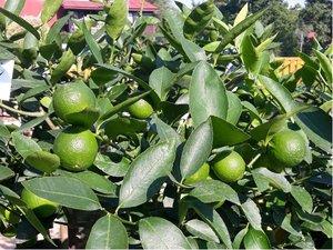 Limetka - Limetta verde - v květináči P18
