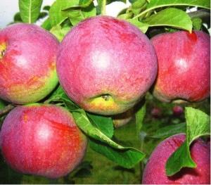 Jabloň VYSOČINA