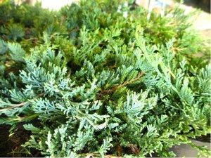 Jalovec poléhavý - Juniperus horizontalis WILTONII, C 2 l