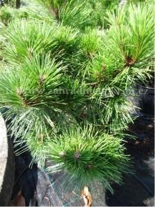 """Borovice černá - Pinus """"Brepo"""""""