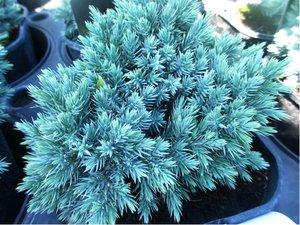 Jalovec šupinatý - stříbrný - Juniperus squamata BLUE STAR, C 2 l