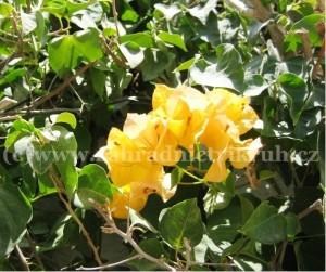 Bougainvillea - žlutá