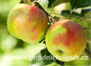 Sloupovitá jabloň ANDA v kontejneru