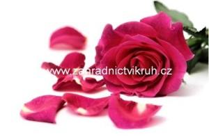 Růže velkokvětá PASSION - růžová
