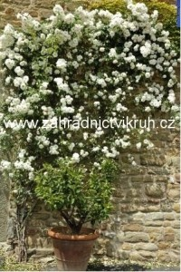 Růže pnoucí ILSE KROHN SUPERIOR -  bílá