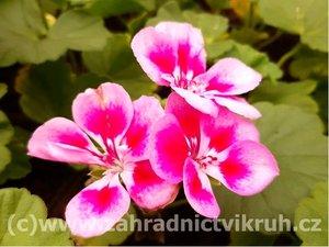 Muškát zonale Fairy Rose - růžový, poloplný