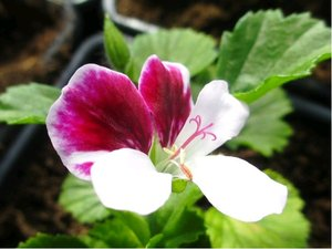 Muškát Angeleyes Bicolor Improved - purpurově-bílý, jednoduchý