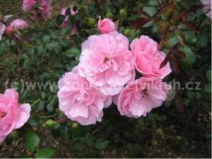 Růže sadová FRANCOIS JURANVILLE - růžová