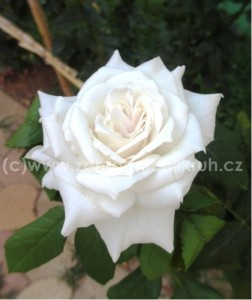 Růže velkokvětá MOUNT SHASTA - bílá