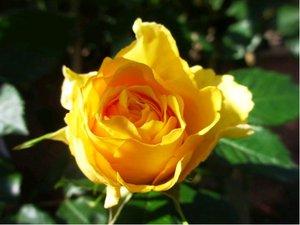 Růže BEROLINA - velkokvětá, žlutá