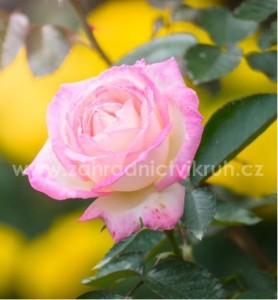 Růže velkokvětá PRINCESS OF MONACO - bílorůžová