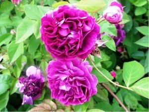Růže pnoucí VIOLETTE PERFUME - fialová