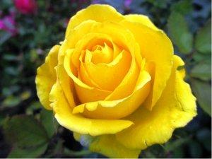 Růže ARTHUR BELL - polyantka, žlutá