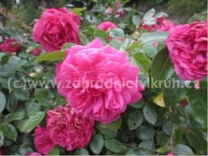 Růže polyantka ROSE DE RESHT - sytě růžová