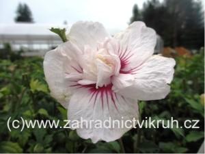 Ibišek syrský CHINA CHIFFON - bílý s růžovým středem, plnokvětý