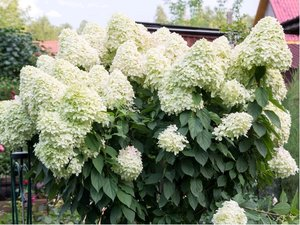 Hortenzie latnatá - Hydrangea paniculata POLAR BEAR® - bílá, C 1,4 L