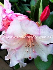Rhododendron Virginia Richards - světle růžový, extra 5L