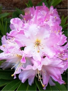 Rhododendron Onkel Diners - bílorůžový, extra 5L