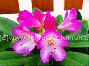 Rhododendron Eucharities - růžový, extra 5L