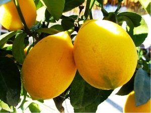 Citroník LISA v květináči P9