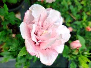 """Ibišek syrský """"Pink Chiffon"""" - růžový, plnokvětý"""