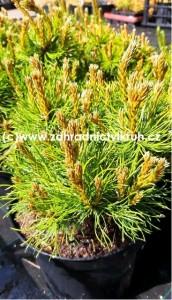 Pinus mugo Mops - Borovice kleč C5l