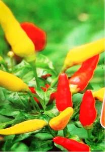 """Chilli paprička """"Tabasco"""" - sv. fialová"""