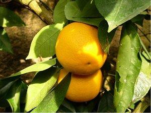 Pomerančovník HAMLIN - roubovaný