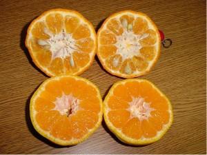 Mandarinka CHANGSHA - roubovaná
