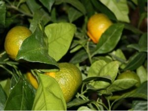 Mandarinka KARTULI - roubovaná