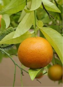 Mandarinka MICHAL - roubovaná