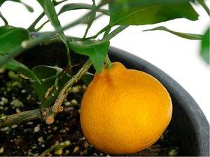 Mandarinka SAIGON - roubovaná