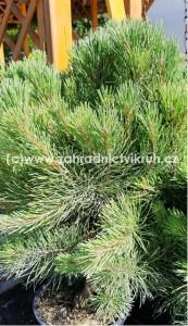 "Borovice lesní ""Pygmaea"" - Pinus sylvestris ""Pygmaea"" 5 l"