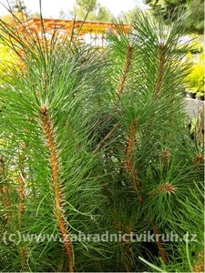 Borovice černá - Pinus nigra
