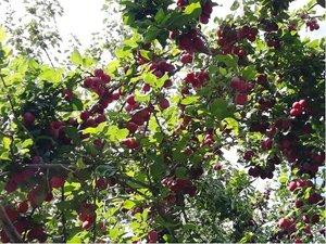 Myrobalán plodový červený v kontejneru