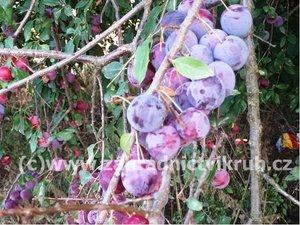 Myrobalán plodový fialový v kontejneru