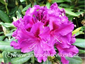 Rhododendron Azurro - tm. fialový