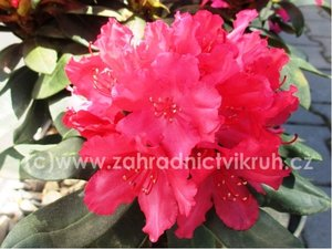 Rhododendron Kluis Sensation - červený