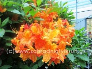 Azalka Bakarat - oranžová