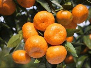 Mandarinka CLEMENTINA v květináči P16