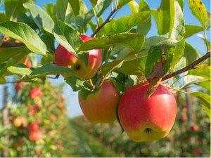 Jabloň ONTARIO - podnož P14